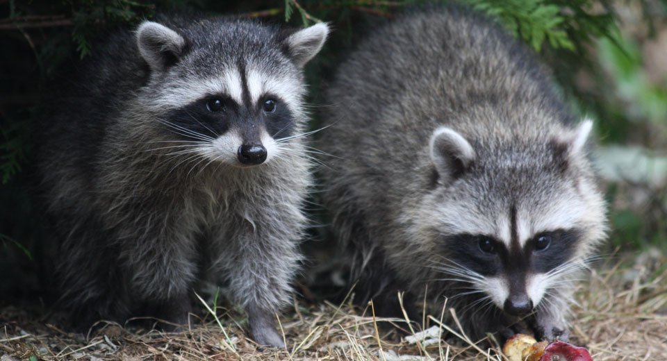 Is rabies a threat on Cape Cod? - Cape Cod Healthcare